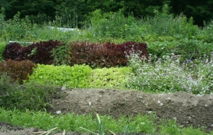 lettuce hugel fb